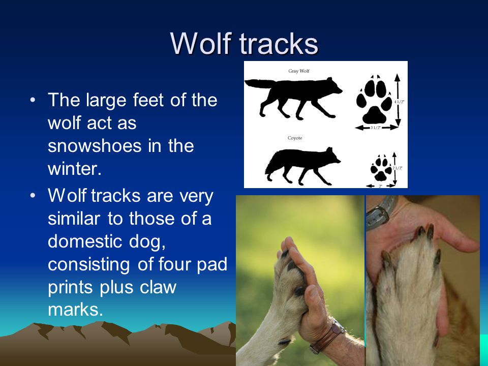 Wolf tracks The large feet of the wolf act as snowshoes in the winter.