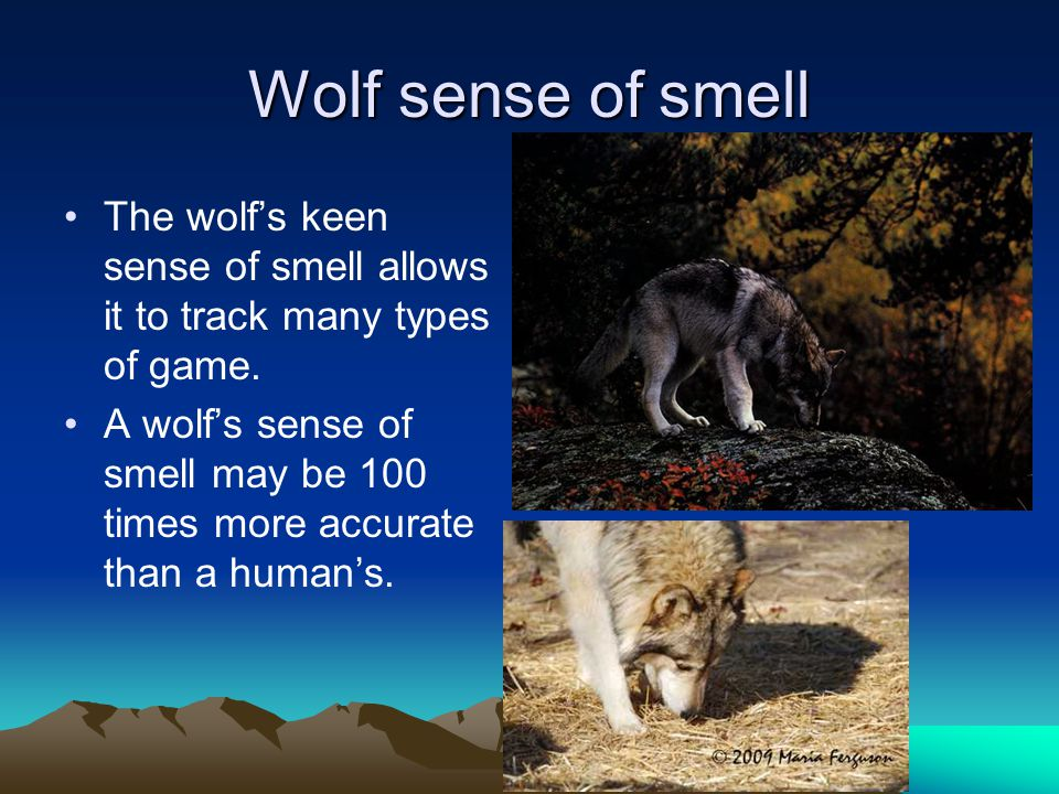 The Wolf howl The howl is used to notify other pack members or other packs of their whereabouts, or to reassemble a scattered pack.