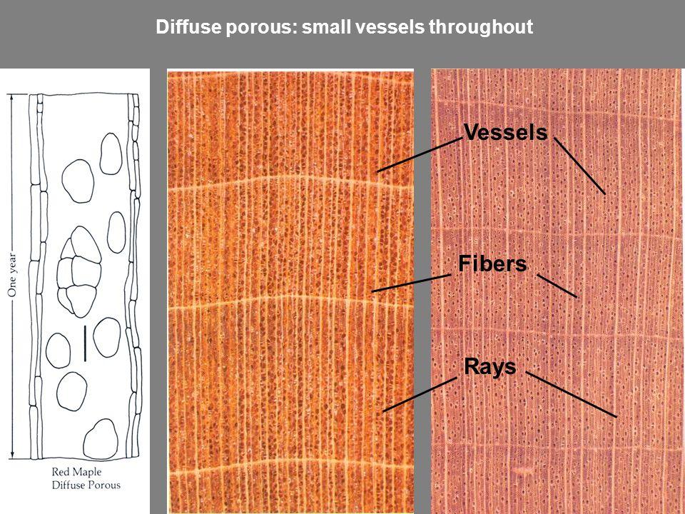Vessels Fibers Rays