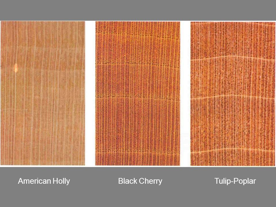 American Holly Black Cherry Tulip-Poplar
