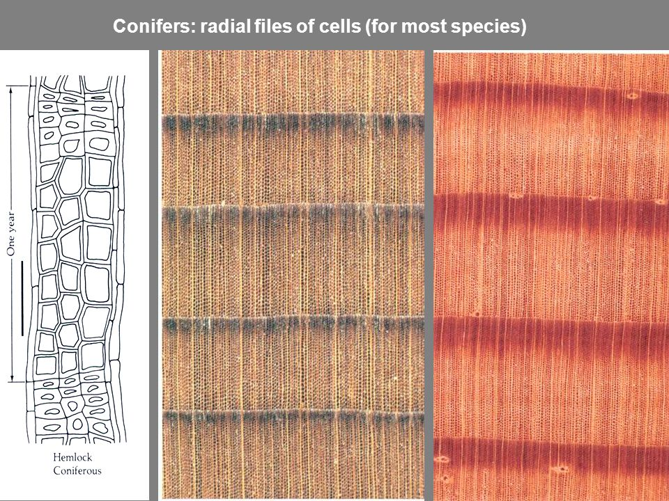 Conifers: radial files of cells (for most species)