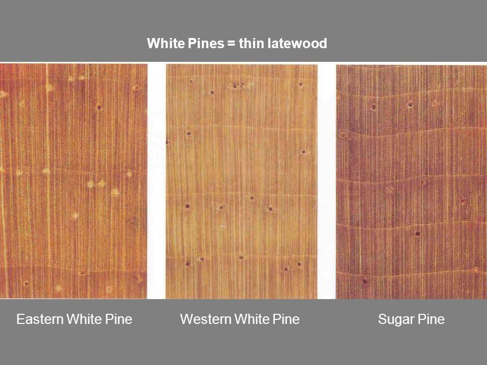 Eastern White Pine Western White Pine Sugar Pine White Pines = thin latewood