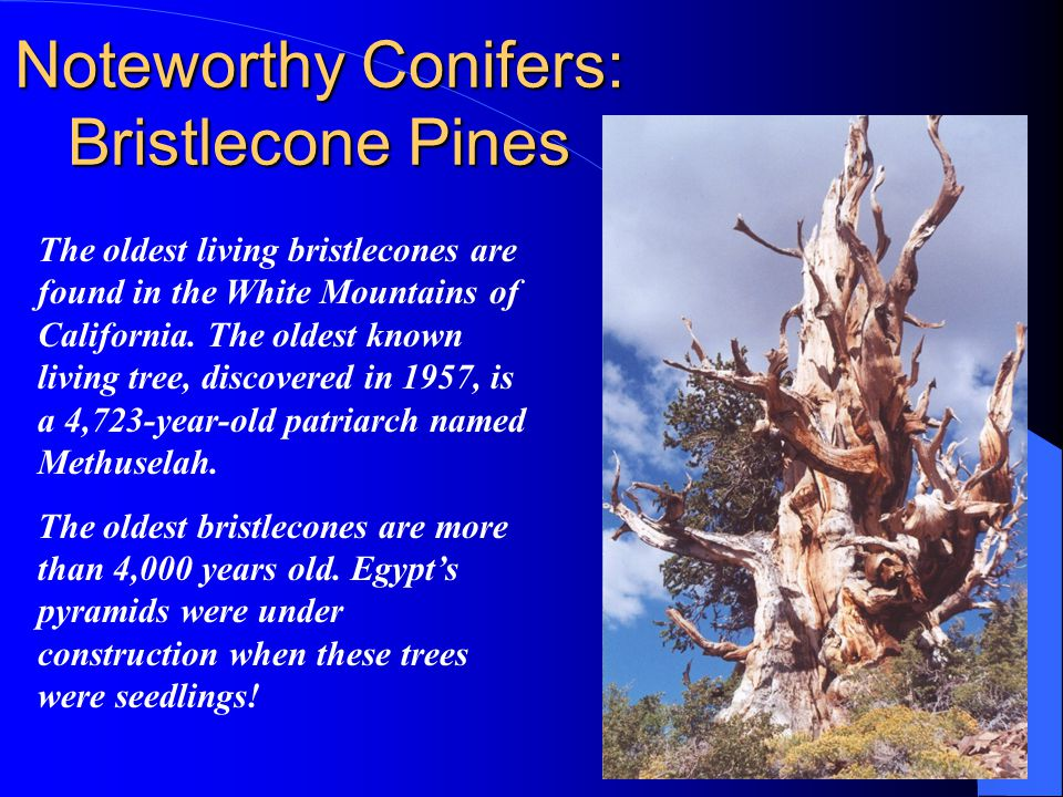 Noteworthy Conifers: Bristlecone Pines The oldest living bristlecones are found in the White Mountains of California.