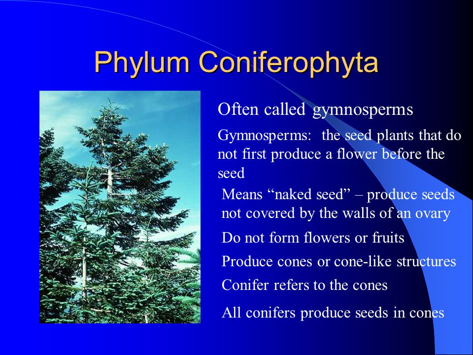 Phylum Coniferophyta Often called gymnosperms Gymnosperms: the seed plants that do not first produce a flower before the seed Means naked seed – produce seeds not covered by the walls of an ovary Do not form flowers or fruits Produce cones or cone-like structures Conifer refers to the cones All conifers produce seeds in cones