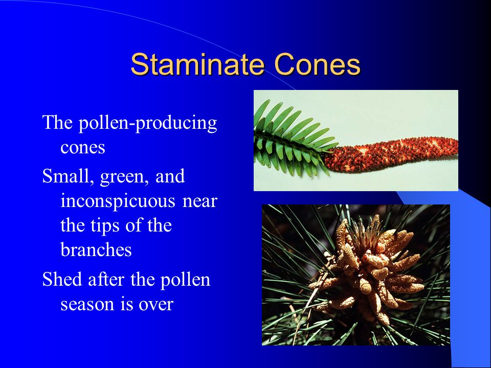 Staminate Cones The pollen-producing cones Small, green, and inconspicuous near the tips of the branches Shed after the pollen season is over