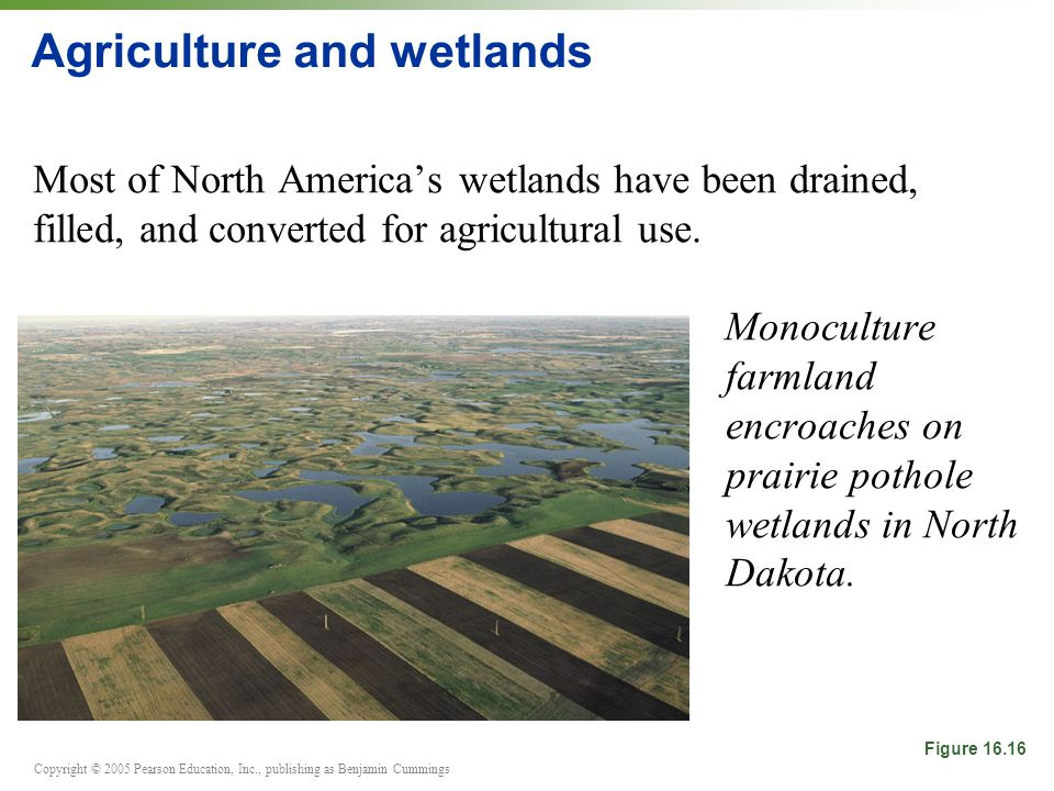 Copyright © 2005 Pearson Education, Inc., publishing as Benjamin Cummings Agriculture and wetlands Most of North America's wetlands have been drained, filled, and converted for agricultural use.