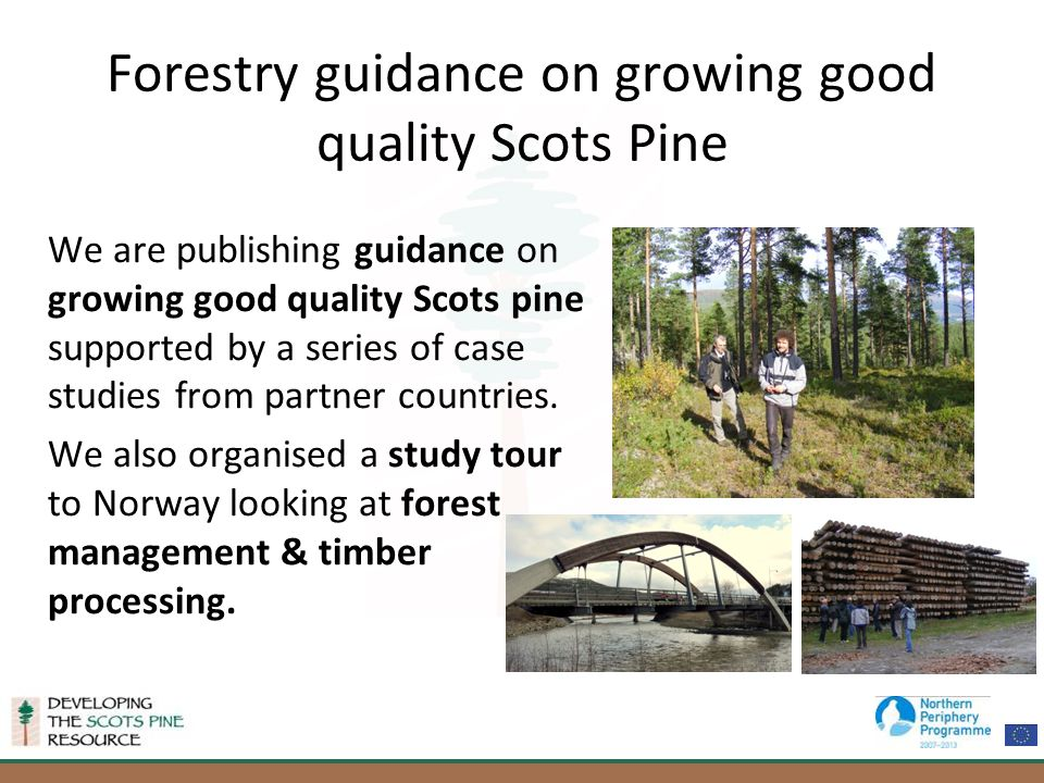 Forestry guidance on growing good quality Scots Pine We are publishing guidance on growing good quality Scots pine supported by a series of case studies from partner countries.