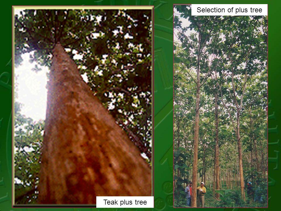 Teak plus tree Selection of plus tree