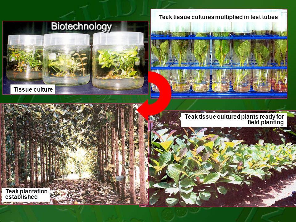 Tissue culture Teak tissue cultures multiplied in test tubes Teak plantation established Teak tissue cultured plants ready for field planting Biotechn