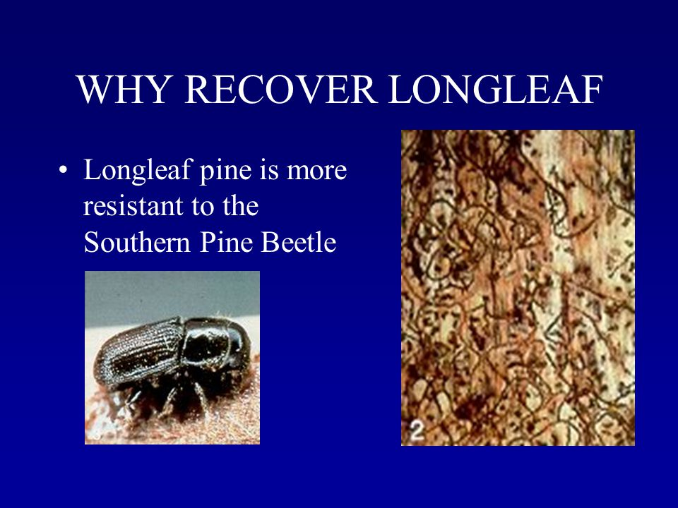 WHY RECOVER LONGLEAF Longleaf pine is more resistant to the Southern Pine Beetle