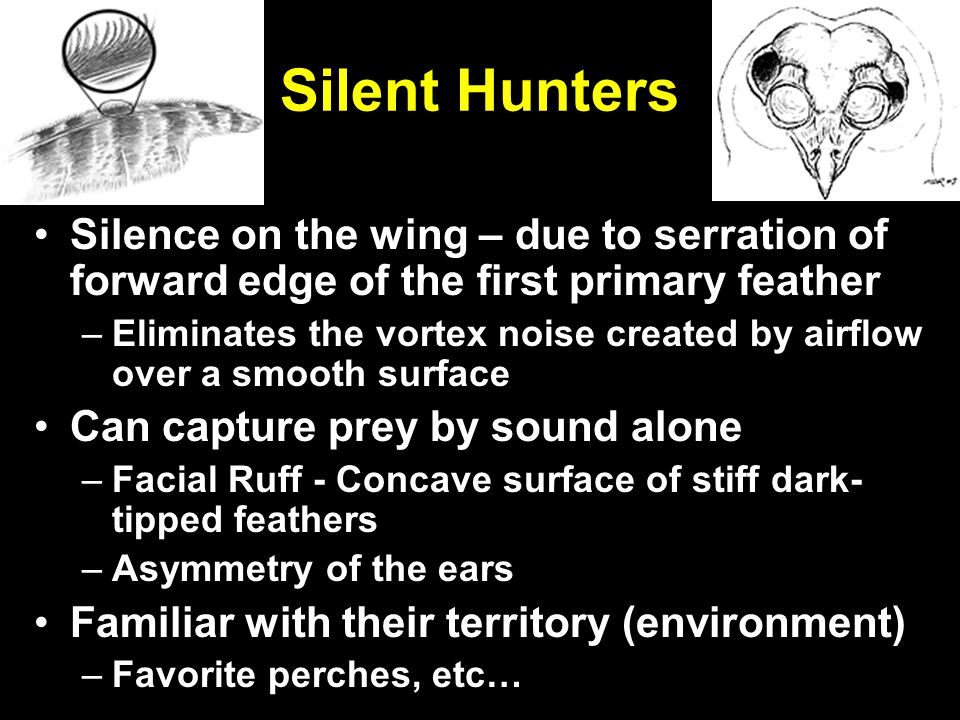 Silent Hunters Silence on the wing – due to serration of forward edge of the first primary feather –Eliminates the vortex noise created by airflow over a smooth surface Can capture prey by sound alone –Facial Ruff - Concave surface of stiff dark- tipped feathers –Asymmetry of the ears Familiar with their territory (environment) –Favorite perches, etc…