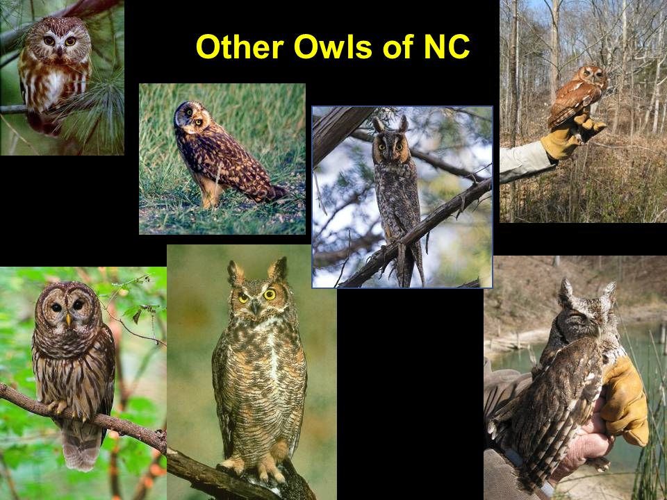 Other Owls of NC