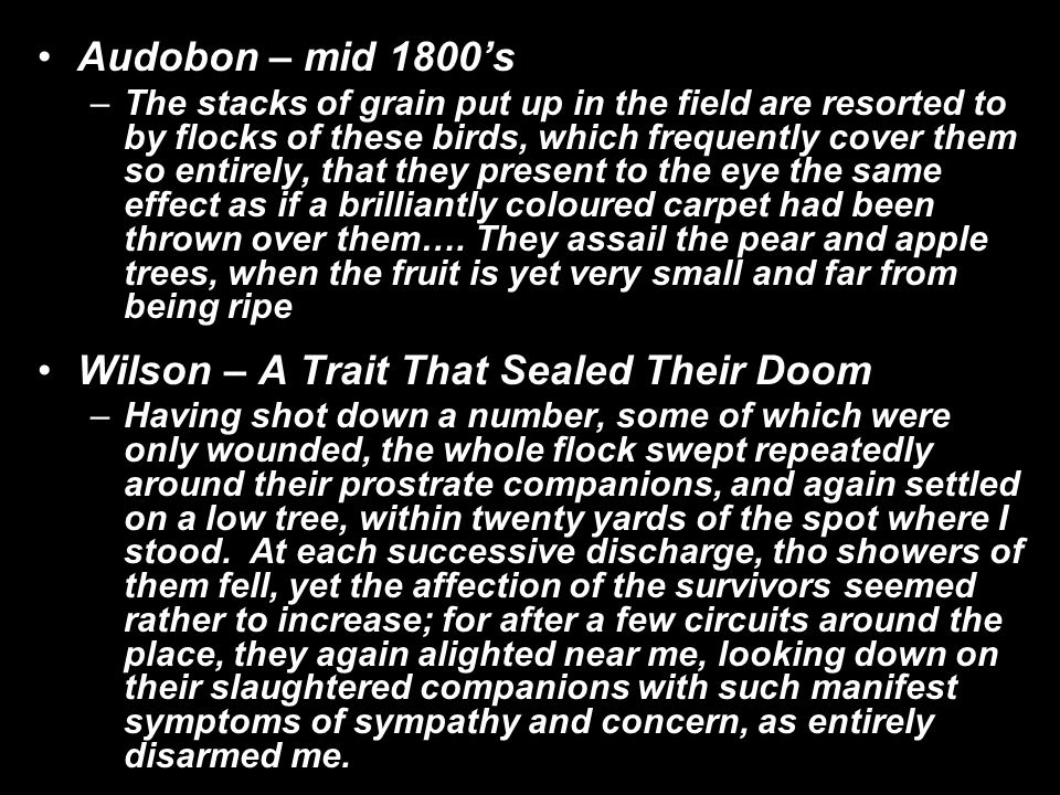 Audobon – mid 1800's –The stacks of grain put up in the field are resorted to by flocks of these birds, which frequently cover them so entirely, that they present to the eye the same effect as if a brilliantly coloured carpet had been thrown over them….