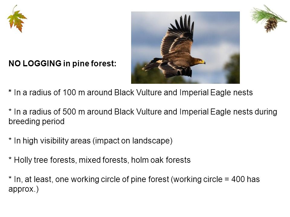 NO LOGGING in pine forest: * In a radius of 100 m around Black Vulture and Imperial Eagle nests * In a radius of 500 m around Black Vulture and Imperial Eagle nests during breeding period * In high visibility areas (impact on landscape) * Holly tree forests, mixed forests, holm oak forests * In, at least, one working circle of pine forest (working circle = 400 has approx.)