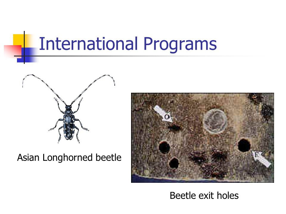 International Programs Asian Longhorned beetle Beetle exit holes