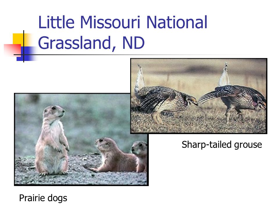 Little Missouri National Grassland, ND Prairie dogs Sharp-tailed grouse
