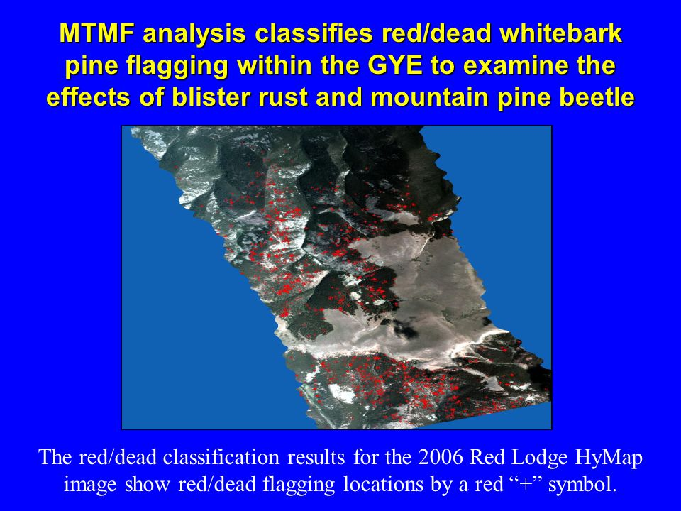 MTMF analysis classifies red/dead whitebark pine flagging within the GYE to examine the effects of blister rust and mountain pine beetle The red/dead classification results for the 2006 Red Lodge HyMap image show red/dead flagging locations by a red + symbol.