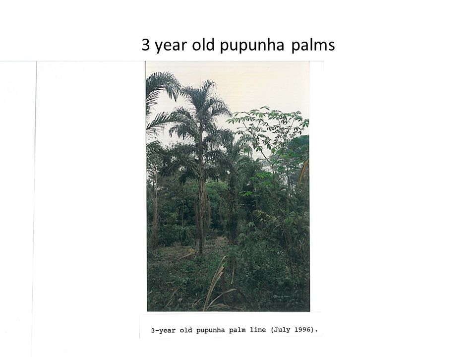 3 year old pupunha palms