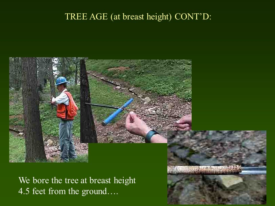 TREE AGE (at breast height) CONT'D: We bore the tree at breast height 4.5 feet from the ground….