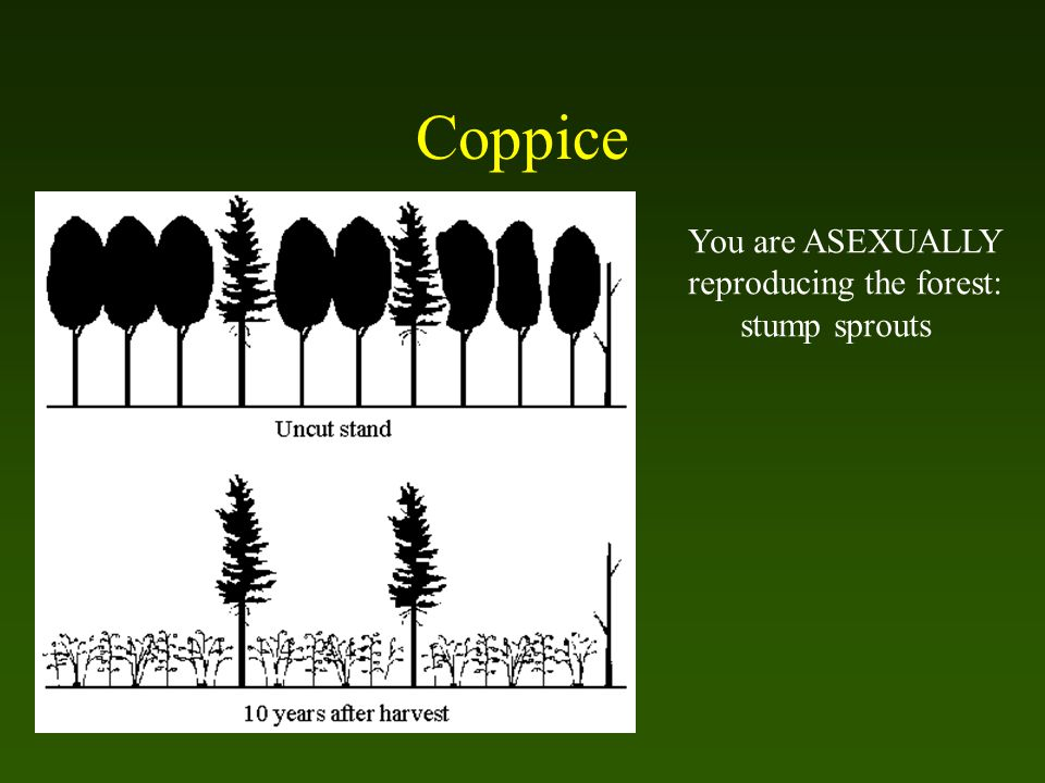 Coppice You are ASEXUALLY reproducing the forest: stump sprouts