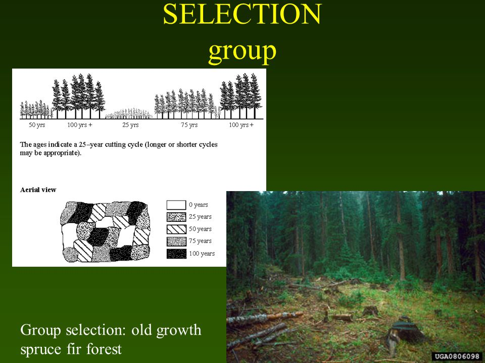 SELECTION group Group selection: old growth spruce fir forest