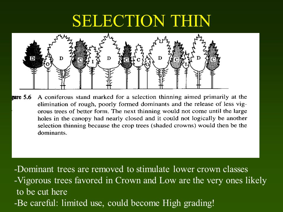 SELECTION THIN -Dominant trees are removed to stimulate lower crown classes -Vigorous trees favored in Crown and Low are the very ones likely to be cut here -Be careful: limited use, could become High grading!