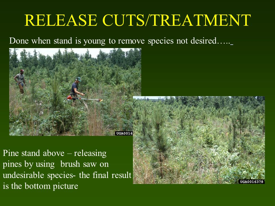 RELEASE CUTS/TREATMENT Done when stand is young to remove species not desired…..
