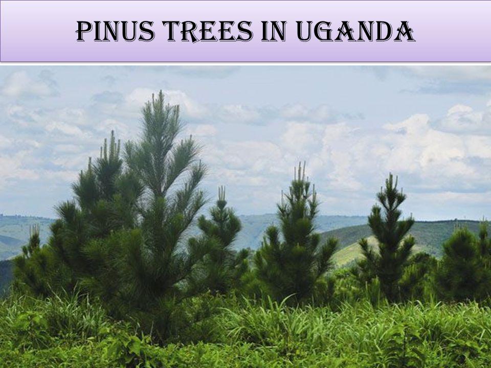 Pinus trees in Uganda