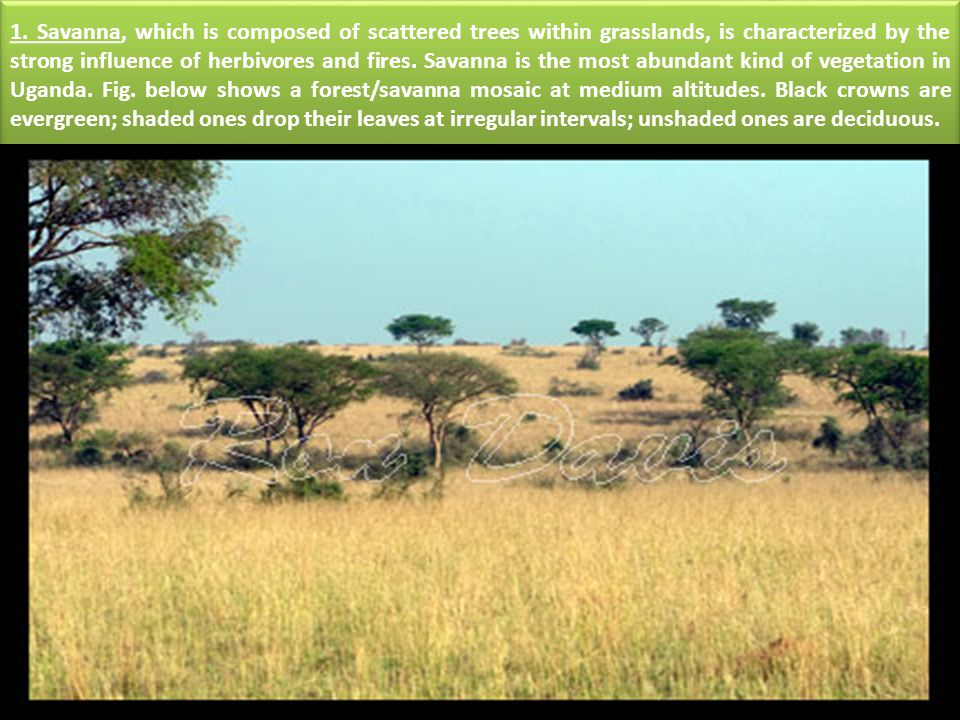 1. Savanna, which is composed of scattered trees within grasslands, is characterized by the strong influence of herbivores and fires. Savanna is the m