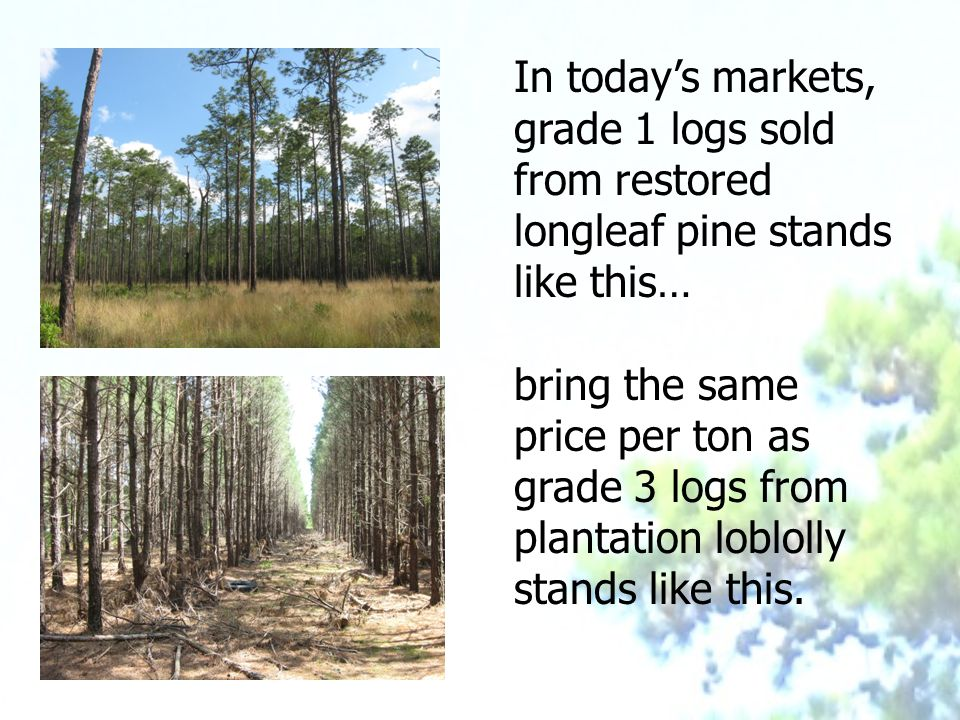 In today's markets, grade 1 logs sold from restored longleaf pine stands like this… bring the same price per ton as grade 3 logs from plantation loblolly stands like this.