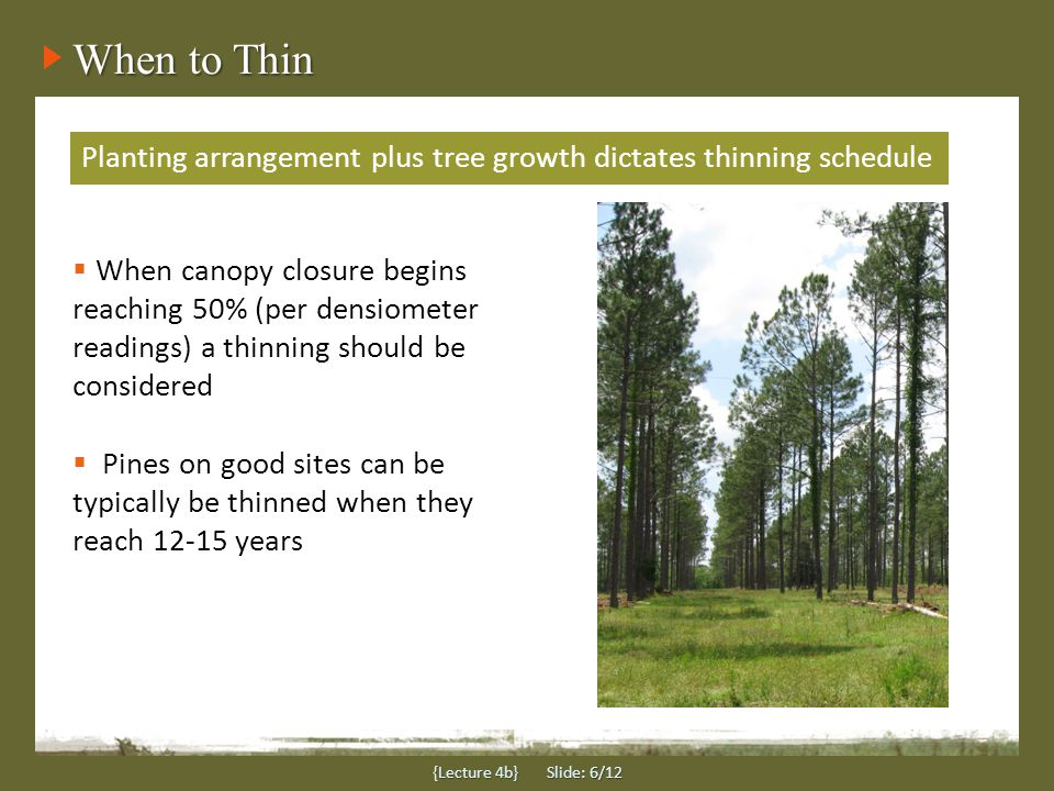When to Thin {Lecture 4b} Slide: 6/12 Planting arrangement plus tree growth dictates thinning schedule  When canopy closure begins reaching 50% (per densiometer readings) a thinning should be considered  Pines on good sites can be typically be thinned when they reach 12-15 years