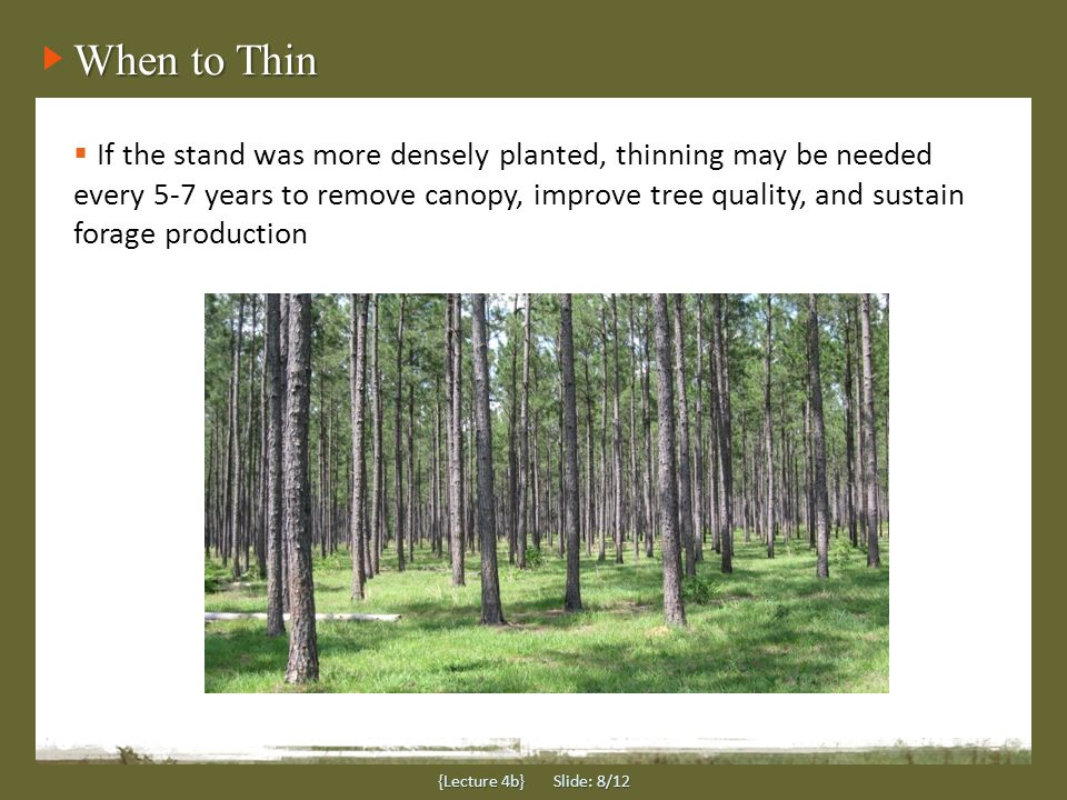 When to Thin {Lecture 4b} Slide: 8/12  If the stand was more densely planted, thinning may be needed every 5-7 years to remove canopy, improve tree quality, and sustain forage production
