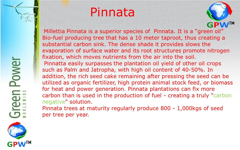 Pinnata Millettia Pinnata is a superior species of Pinnata.