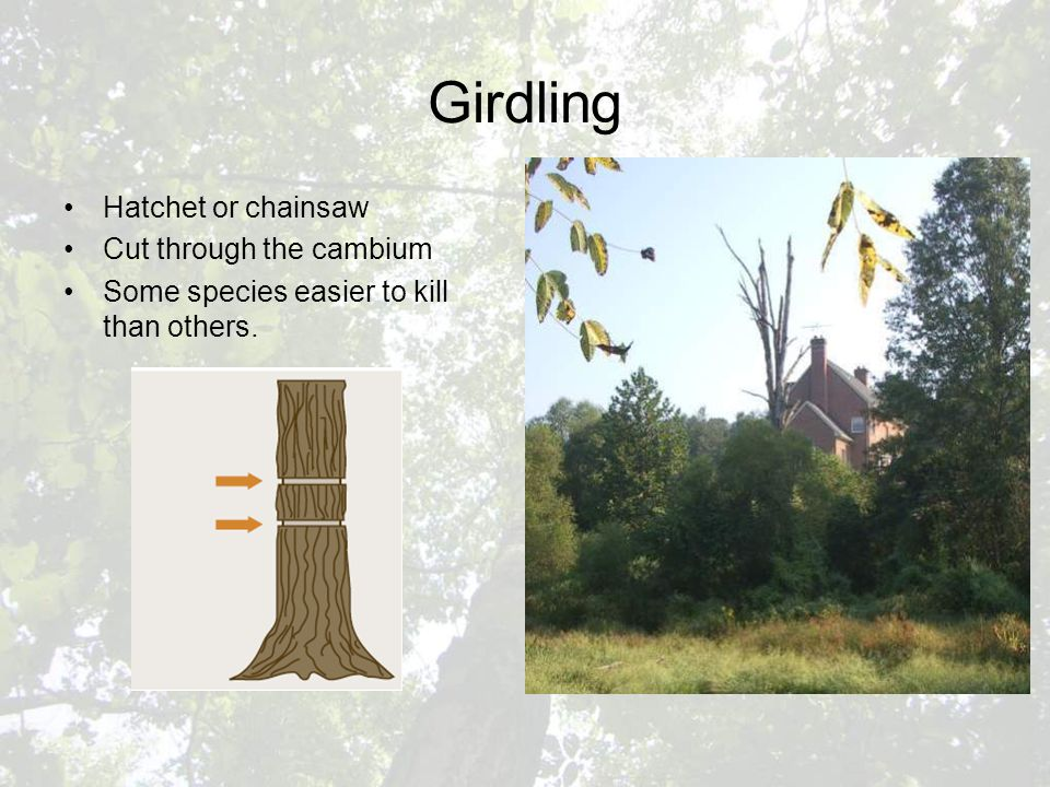 Girdling Hatchet or chainsaw Cut through the cambium Some species easier to kill than others.