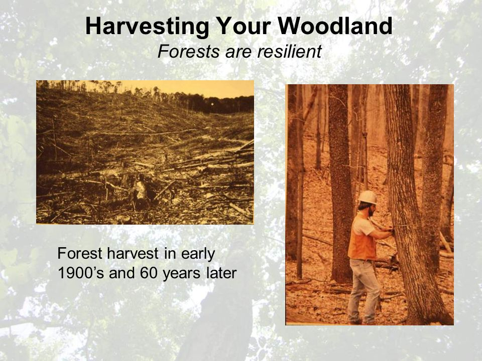 Harvesting Your Woodland Forests are resilient Forest harvest in early 1900's and 60 years later