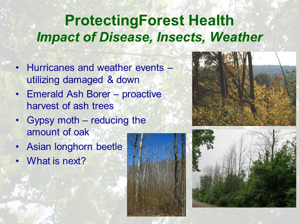 ProtectingForest Health Impact of Disease, Insects, Weather Hurricanes and weather events – utilizing damaged & down Emerald Ash Borer – proactive harvest of ash trees Gypsy moth – reducing the amount of oak Asian longhorn beetle What is next