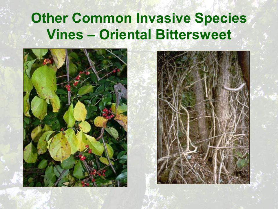 Other Common Invasive Species Vines – Oriental Bittersweet