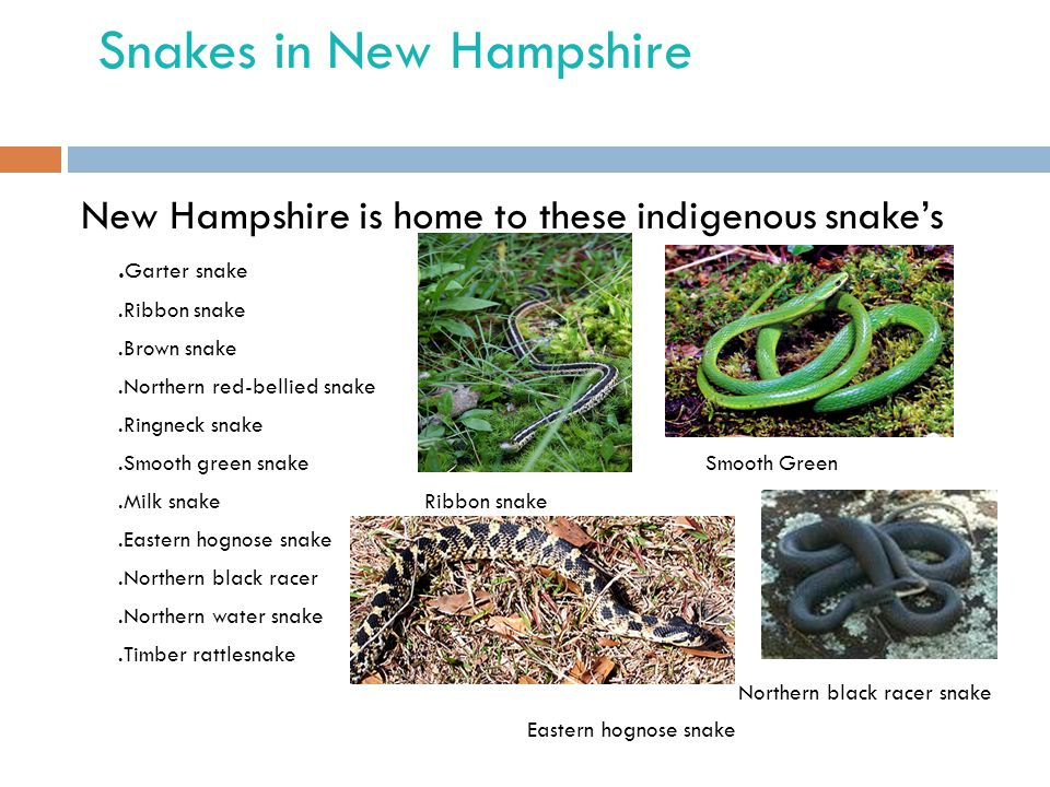 Snakes in New Hampshire New Hampshire is home to these indigenous snake's. Garter snake.Ribbon snake.Brown snake.Northern red-bellied snake.Ringneck s