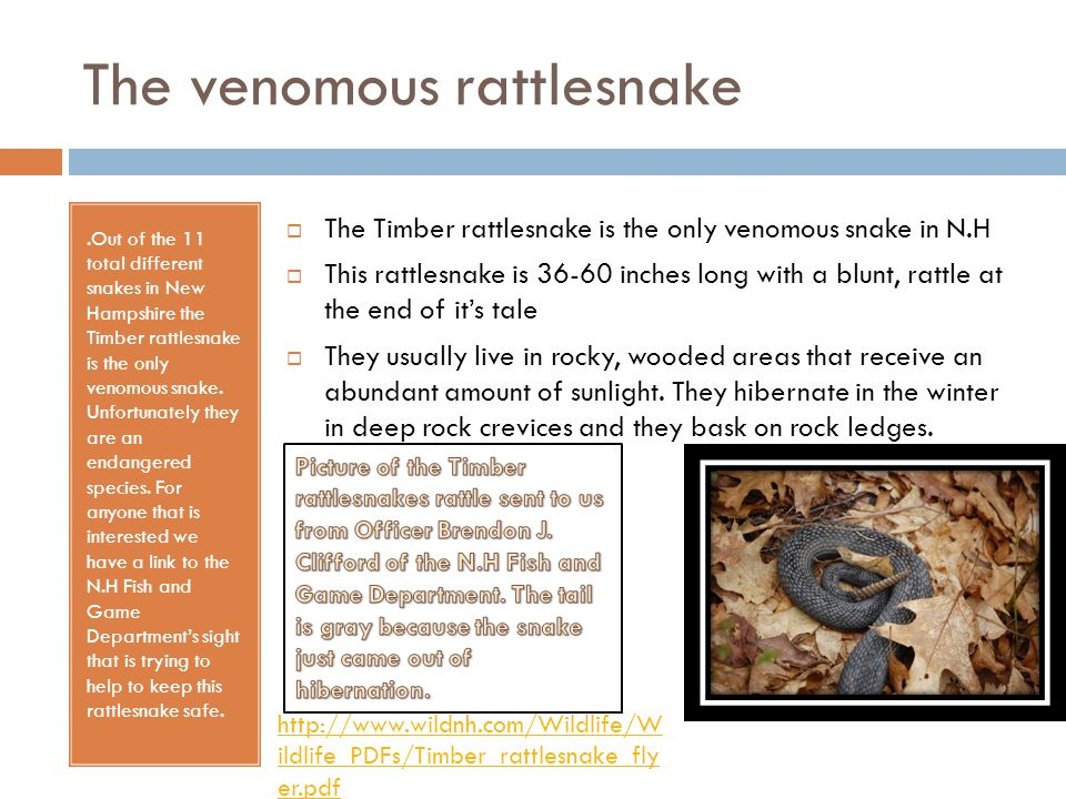 The venomous rattlesnake.Out of the 11 total different snakes in New Hampshire the Timber rattlesnake is the only venomous snake. Unfortunately they a