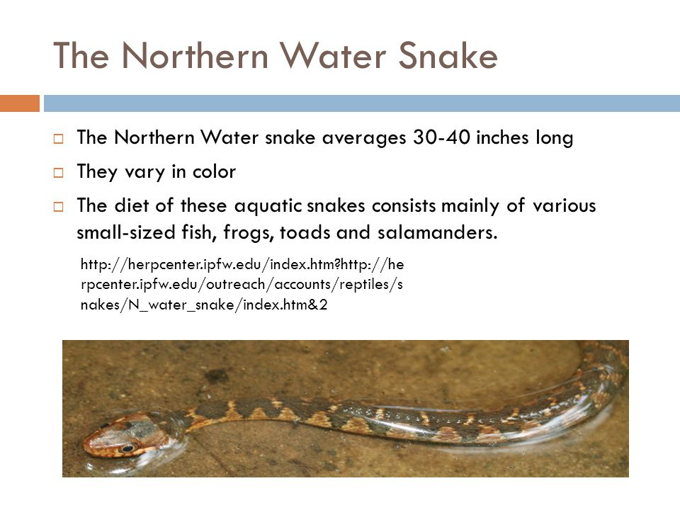 The Northern Water Snake  The Northern Water snake averages 30-40 inches long  They vary in color  The diet of these aquatic snakes consists mainly
