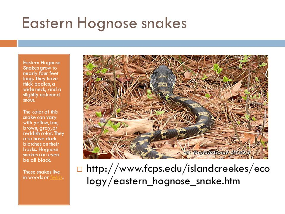 Eastern Hognose snakes Eastern Hognose Snakes grow to nearly four feet long. They have thick bodies, a wide neck, and a slightly upturned snout. The c