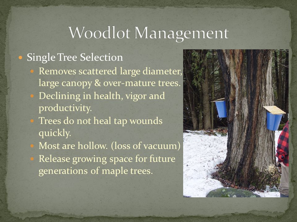 Single Tree Selection Removes scattered large diameter, large canopy & over-mature trees.