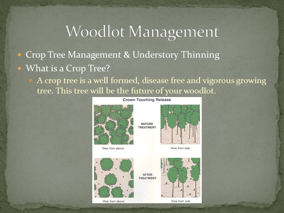 Crop Tree Management & Understory Thinning What is a Crop Tree.
