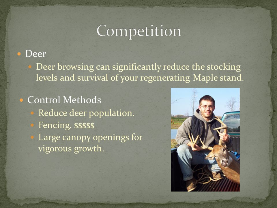 Deer Deer browsing can significantly reduce the stocking levels and survival of your regenerating Maple stand.