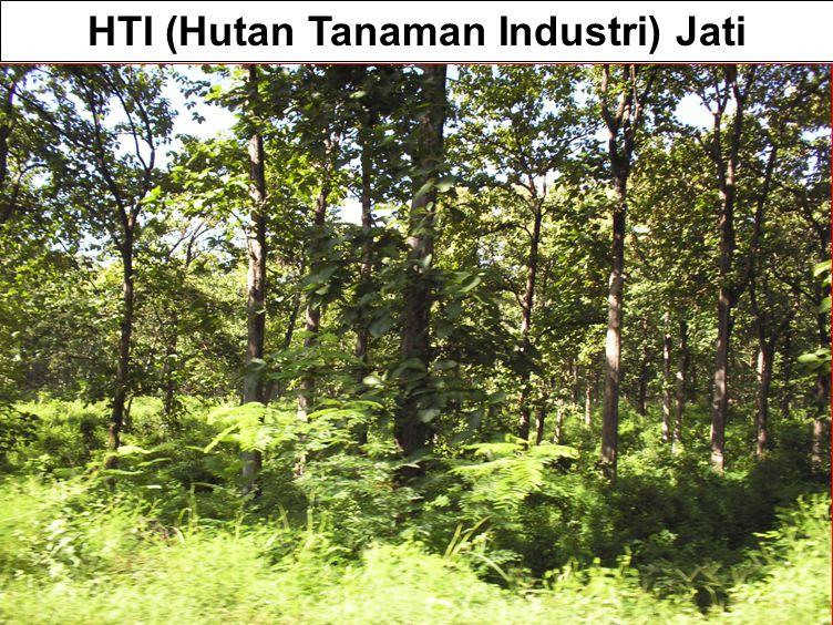 HTI (Hutan Tanaman Industri) Jati