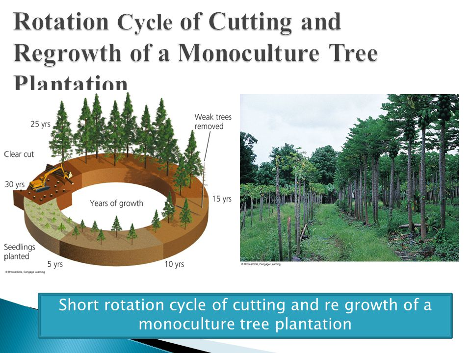 Short rotation cycle of cutting and re growth of a monoculture tree plantation