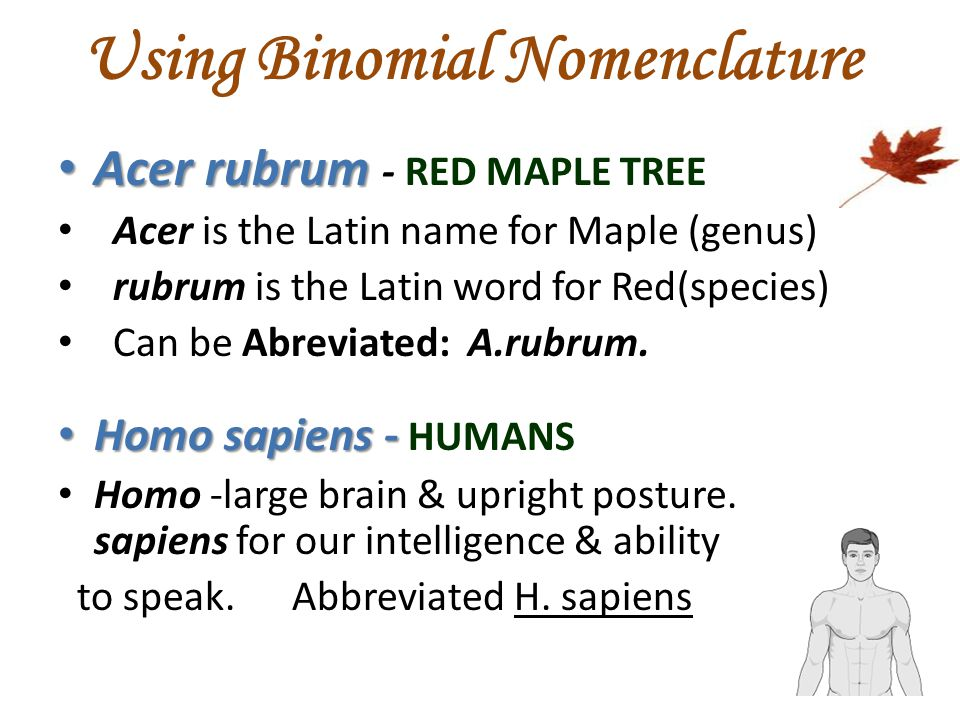 Using Binomial Nomenclature Acer rubrum Acer rubrum - RED MAPLE TREE Acer is the Latin name for Maple (genus) rubrum is the Latin word for Red(species) Can be Abreviated: A.rubrum.