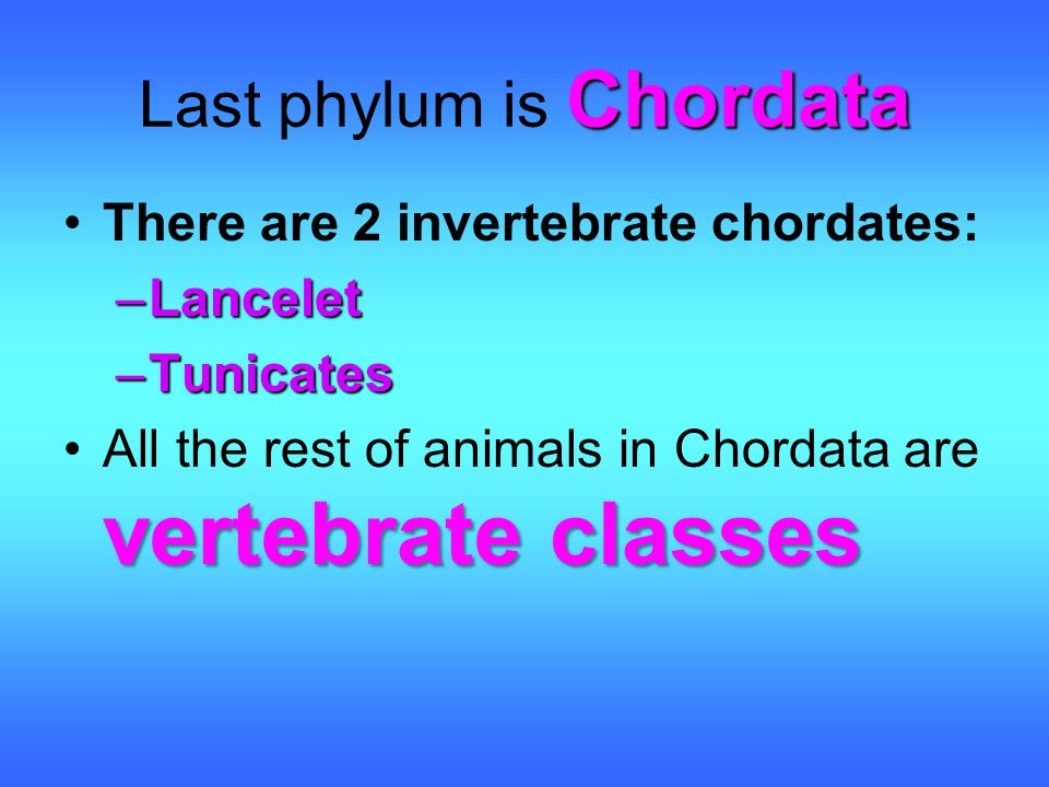 Chordata Last phylum is Chordata There are 2 invertebrate chordates: –Lancelet –Tunicates vertebrate classesAll the rest of animals in Chordata are ve