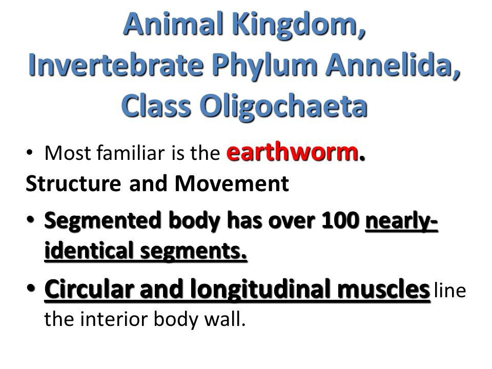 Animal Kingdom, Invertebrate Phylum Annelida, Class Oligochaeta earthworm. Most familiar is the earthworm. Structure and Movement Segmented body has o