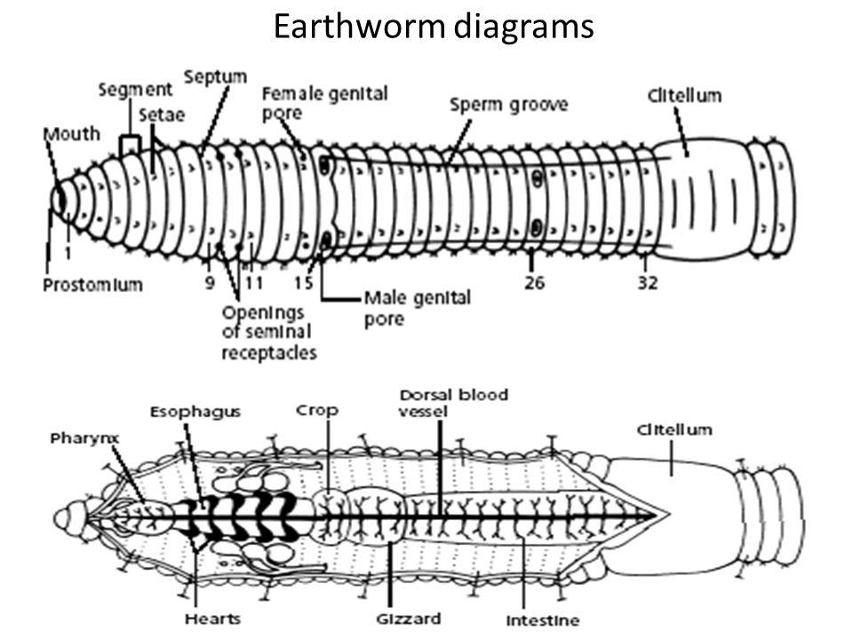 Earthworm diagrams